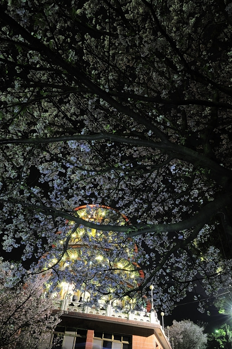 sakura-at-night