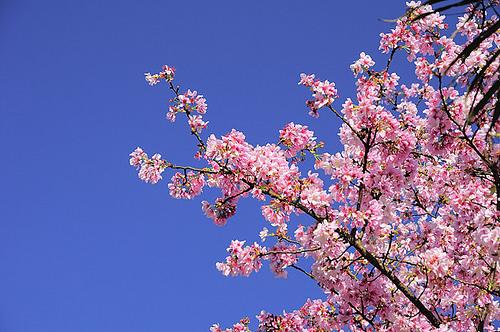 2012-danshui-sakura
