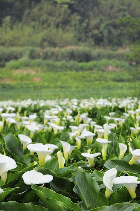 陽明山 竹子湖 海芋