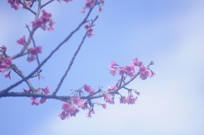 陽明山-淡水-櫻花