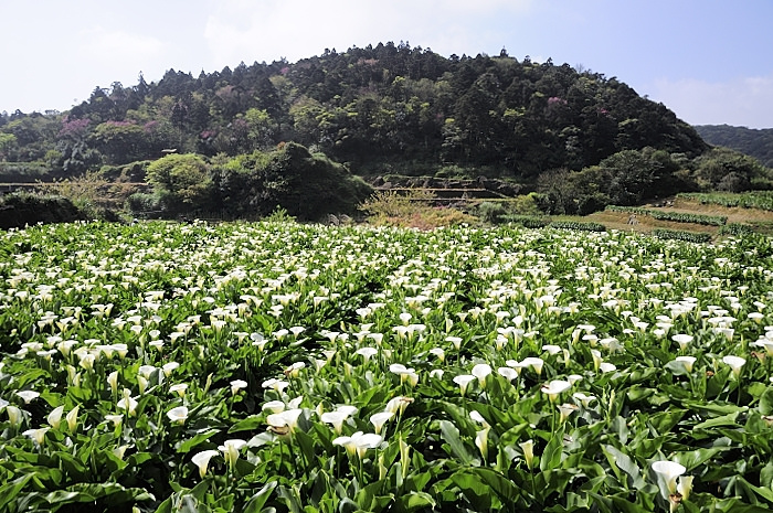 2013 竹子湖海芋季